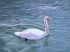 Swan 11X14_web