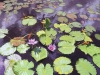 Water Lilies_5770_web